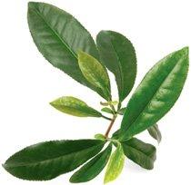 the-verde-pianta